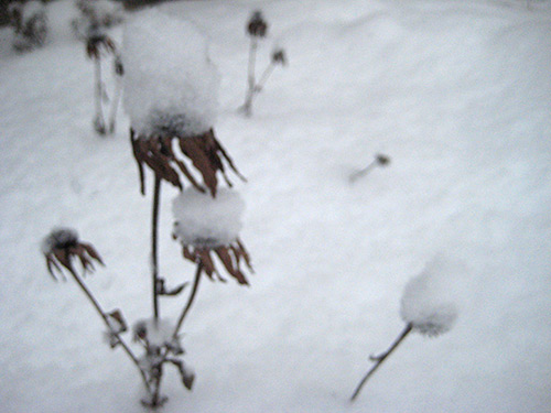 Coneflowers in Winter