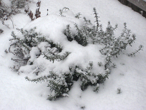 Winter Savory with Snow