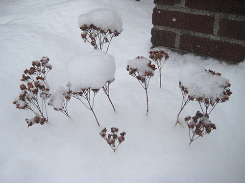 Sedum in Winter
