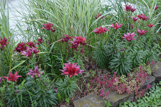 Deadheading Asiatic Lilies See Jane Dig
